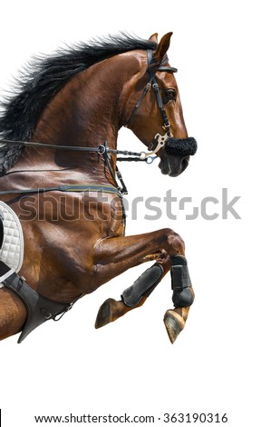Close-up of chestnut jumping horse  in a hackamore on white background - stock photo