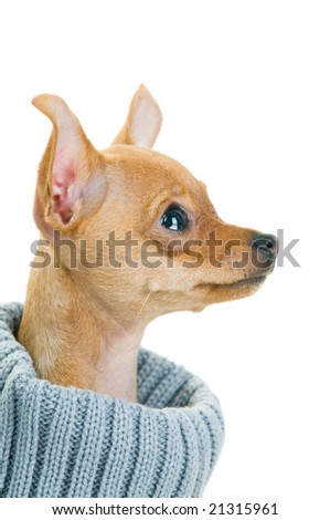 Close-up of Chihuahua dog in sweater, isolated on white background - stock photo