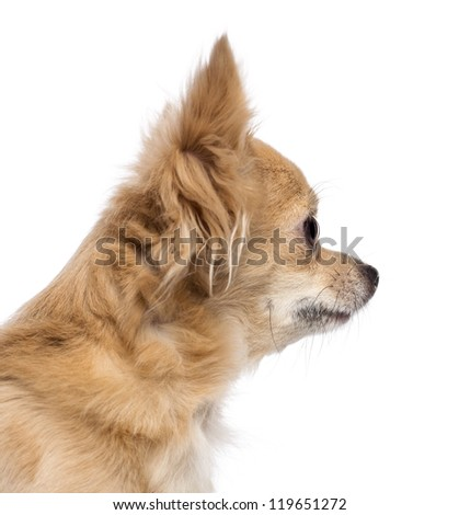 Close-up of Chihuahua looking away against white background - stock photo