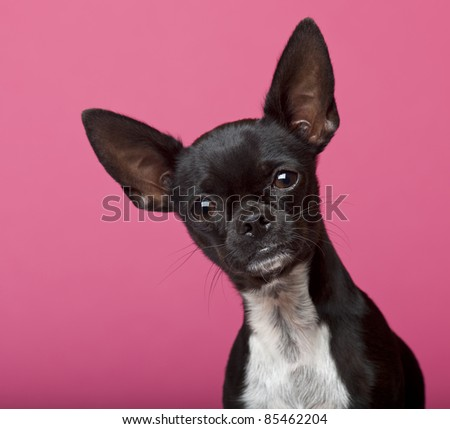 Close-up of Chihuahua, 18 months old, in front of pink background - stock photo