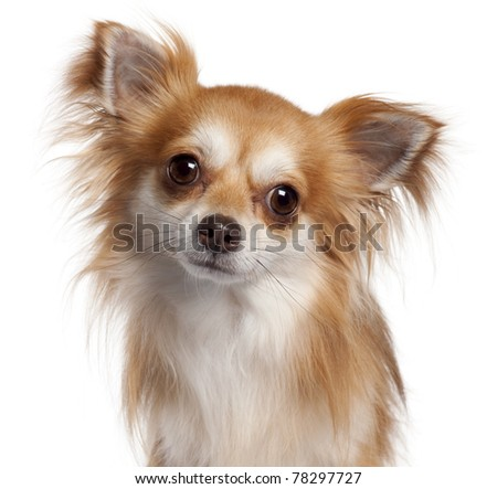 Close-up of Chihuahua, 2 years old, in front of white background - stock photo