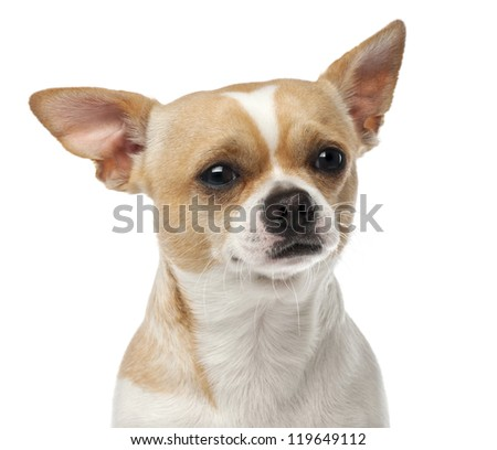 Close-up of Chihuahua, 2 years old, looking at camera against white background - stock photo