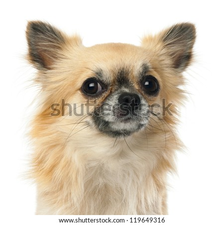 Close-up of Chihuahua, 1.5 years old, looking at camera against white background - stock photo