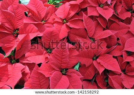 Close up of Christmas red poinsettia plant blossom