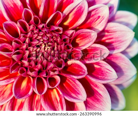 Close-up of chrysanthemum flower. Abstract blossom background. Shallow DOF. - stock photo