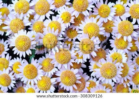 close-up of chrysanthemum flowers  - stock photo