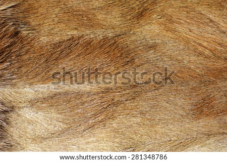 close up of coarse fur from impala back - stock photo