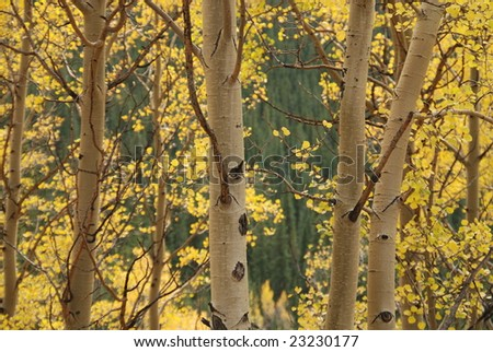 Close up of Colorado Aspen Trees in Autumn