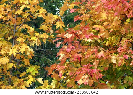 close-up of colorful maple leaves in the sunshine on a warm autumn day