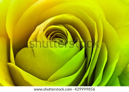 close up of colorful rose petals - stock photo