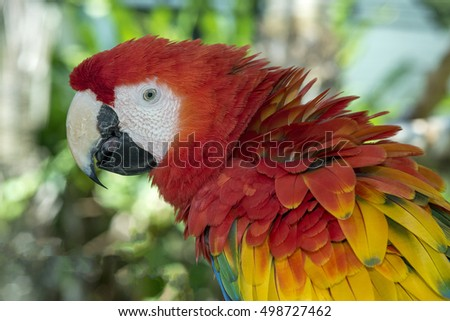 Close-up of colorful Scarlet Macaw parrot
