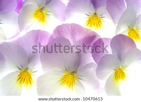 close-up of colourful viola tricolor as a background