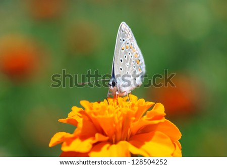 close up of common blue butterfly on marigold - stock photo