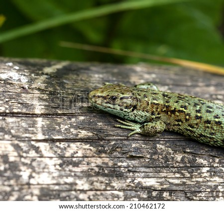 Close-up of Common Lizard, showing scales and claws details. - stock photo