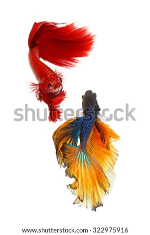 Close up of couple betta fighting fish top form preparing to fight isolated a on white background - stock photo