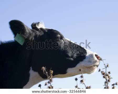 close up of cow - stock photo