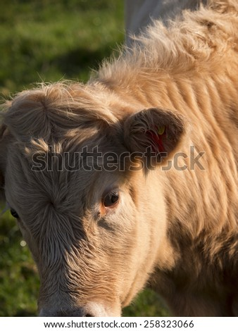 close up of cow,derbyshire