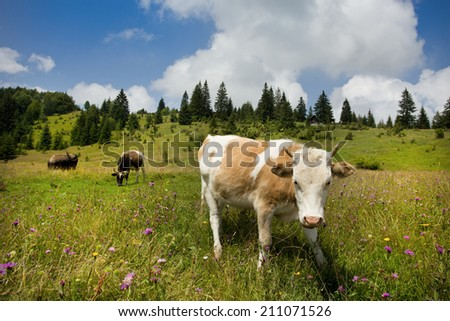 Close up of cow on pasture in mountain region - stock photo