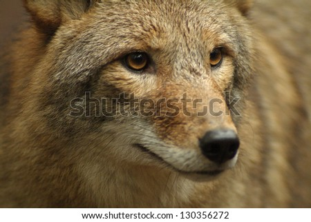 Close up of Coyote / Coyote Portrait - stock photo