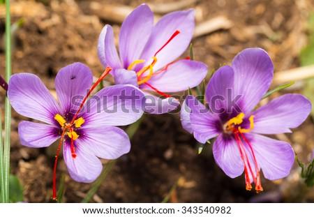 Close up of Crocus sativus flower on field - stock photo