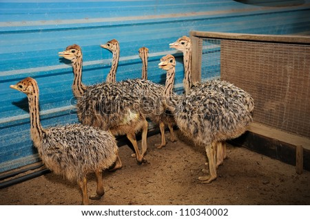 close-up of cute baby ostrich, selective focus. - stock photo