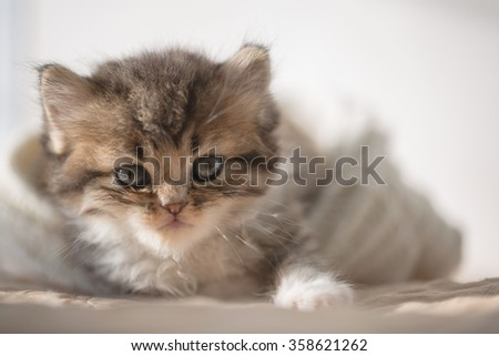 Close up of cute little tabby kitten laying in wool hat