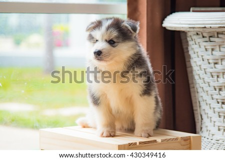 Close up of cute puppy siberian husky standing on wooden box.