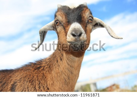 Close up of cute young goat against a cloudy blue sky.