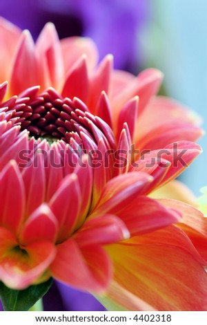 Close-up of dahlia blossom - stock photo