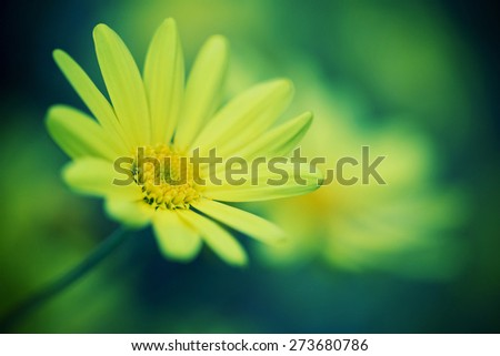 Close-up of daisy flower - stock photo