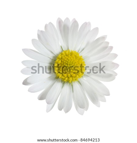 close up of daisy isolated on white