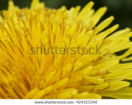 Close-up of dandelion flower. Macro photo as a natural background. Flower abstract texture - stock photo