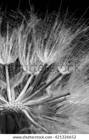 Close-up of dandelion (goatsbeard) on black background. Black and white image. Shallow DOF. - stock photo
