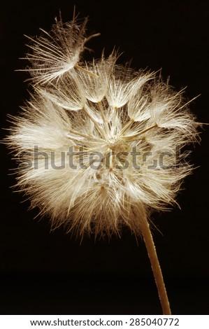 Close-up of dandelion (goatsbeard) on black background. Toned image. Shallow DOF, focus on seed. - stock photo