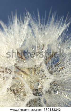 Close-up of dandelion (goatsbeard) with water drops against blue sky. Shallow DOF.