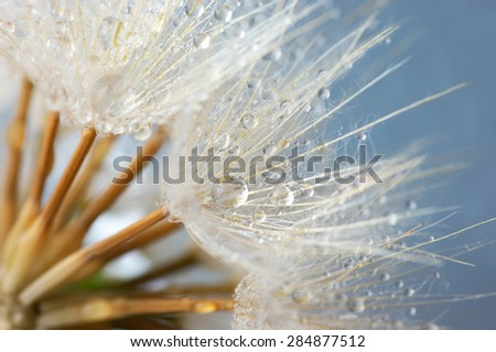 Close-up of dandelion (goatsbeard) with water drops against blue sky. Soft focus, shallow DOF. - stock photo
