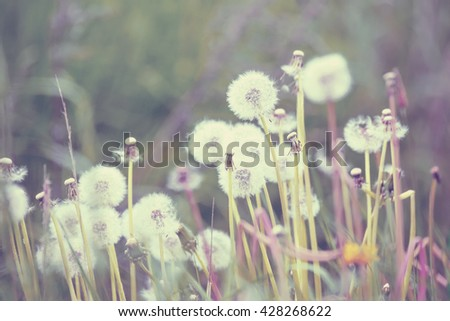 close up of Dandelion on background green grass with shallow focus, spring abstract color. Spring Background, Spring dandelion - stock photo