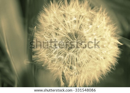 Close up of dandelion on spring field. Vintage style sepia image