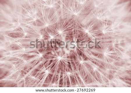 Close-up of dandelion sepia toned - stock photo