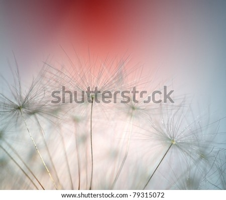 Close up of dandelion, very selective focus - stock photo