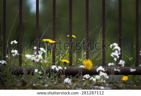 Close up of dandelions and other flowers by rusty metal fence - stock photo
