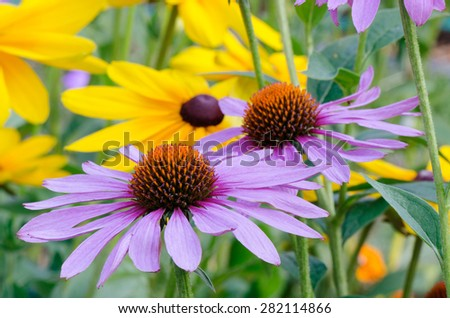 Close-up of dark pink cone flowers against a background of bright yellow black-eyed Susans in a summer garden. - stock photo