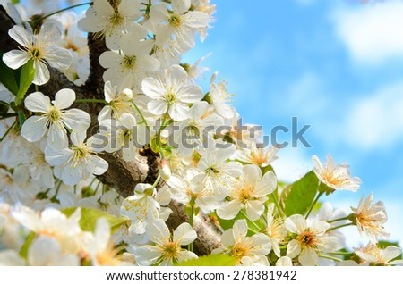 Close Up of Delicate White Summer Blossoms in Abundant Bloom on Tree Branch with Blue Sky in Background - stock photo
