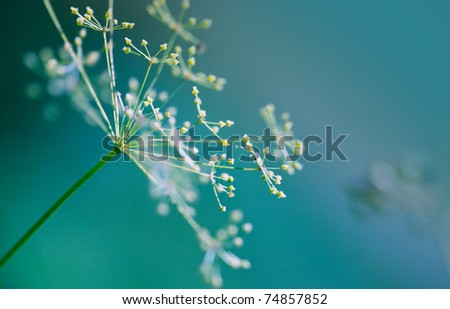 Close-up of Dill flower umbels in autumn - stock photo