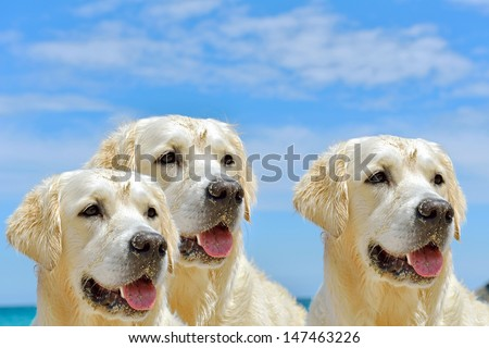 close up of 3 dogs heads on the beach  - stock photo