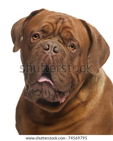 Close-up of Dogue de Bordeaux, 20 months old, in front of white background - stock photo