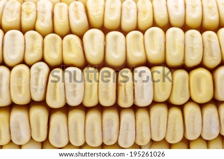 Close up of dried corn kernels on the cob.