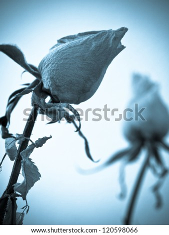 Close-up of dry roses, symbolizing lost love or breaking up.
