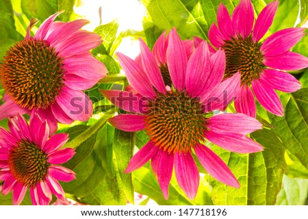 Close up of Echinacea purpurea flowers with their spiny central paleae cultivated as an ornamental garden plant and for use in naturopathy as an immunostimulator - stock photo
