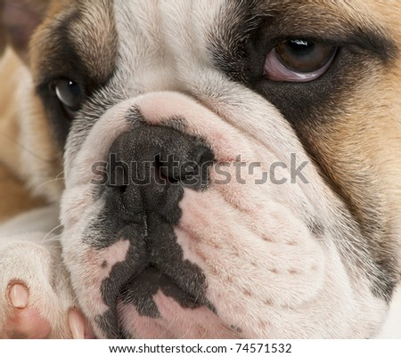 Close-up of English bulldog puppy, 4 months old - stock photo